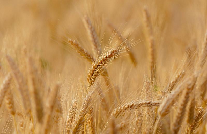 Le blé, au coeur de l'alimentation des volailles de Bresse