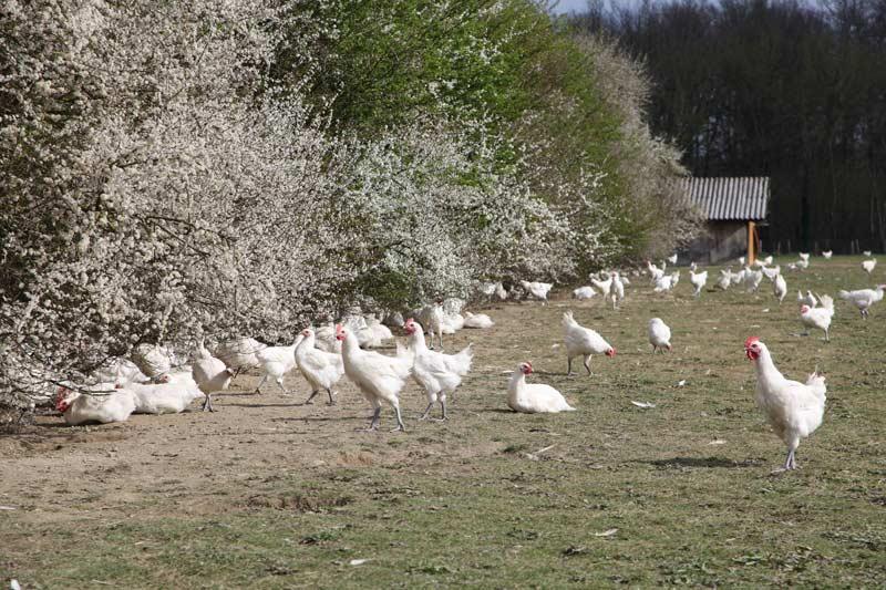 Volailles de Bresse en plein air - Bresse gourmande